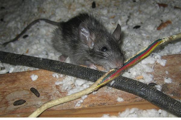 Chuột - một nguyên nhân lớn gây ra tình trạng hư hỏng cân, hư hỏng loadcell